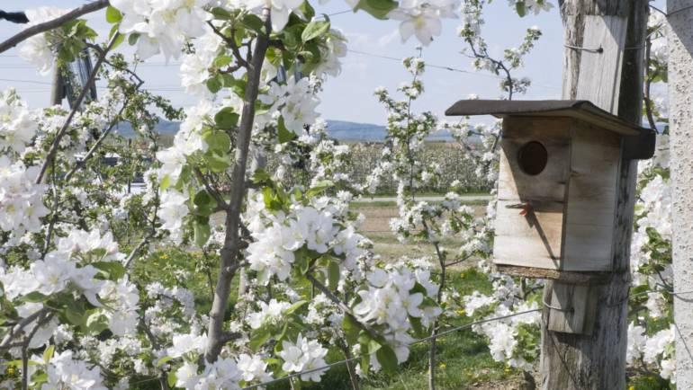 Unsere Apfelbäume stehen in Blüte